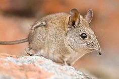 A new species of elephant shrew, similar to this Cape Elephant Shrew shown here in South Africa, was spotted in Kenya.
