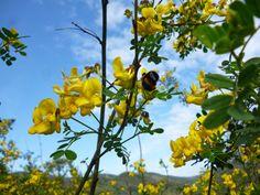 Ο ασπάλαθος δεν έχει μεγάλη αξία καθώς οι μέλισσες τον επισκέπτονται περιστασιακά. Ίσως γιατί έχει βαθυκάλυκα άνθη και δυσκολεύονται να πάρουν το νέκταρ ή γιατί, σύμφωνα με κάποιους μελισσοκόμους, το νέκταρ του είναι αραιό και οι συλλέκτριες μέλισσες δείχνουν μεγαλύτερο ενδιαφέρον για άλλα φυτά που ανθίζουν την ίδια περίοδο με πιο πυκνό νέκταρ.