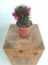 MAMMILLARIA KEWENSIS Cactus 5,5 cm maceta Cacti Kakteen Evergreen