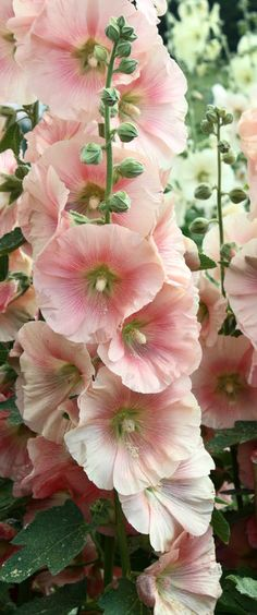 Pale peach hollyhocks | More pastel inspiration here: http://mylusciouslife.com/prettiness-luscious-pastel-colours/