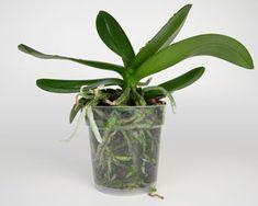 Tips för omplantering av orkideer