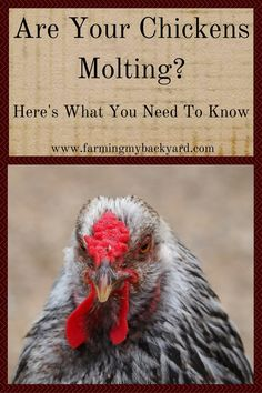 Chickens molting may look like a disaster, and cause a drop in egg production, but there are some things you can do to help them get through it.
