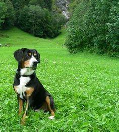 Entlebucher Sennehunde - our future dog breed! Mountain Dog Breeds, Entlebucher Mountain Dog, Awesome Dogs, Beautiful Dogs, Dog Stuff, Dog Love, Best Dogs, Doggies, Have Fun