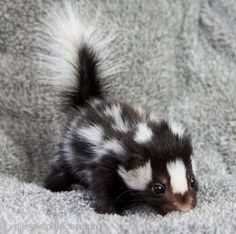 Baby skunk... Adorable before the grow up... And smell