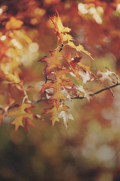 So beautiful. Leaves changing colors is my favorite part of autumn. Autumn Day, Autumn Leaves, Oak Leaves, Late Autumn, Fallen Leaves, Autumn Harvest, Lovely Smile, Seasons Of The Year, Autumn Inspiration