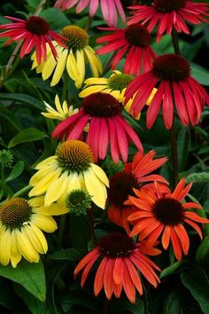 cone flowers - Google Search