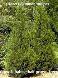 Hetzi Columnar Juniper - for privacy hedge on north slope