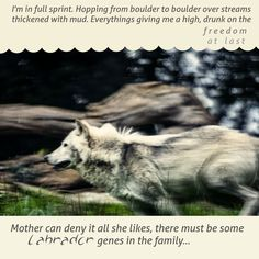 I'm in full sprint. Hopping from boulder to boulder over streams thickened with mud. Everything's giving me a high, drunk on the freedom, at last!  ...Mother can deny it all she likes, there must be some Labrador genes in the family... http://amzn.to/2c51e8S
