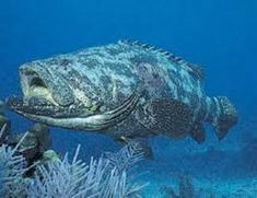 Resultado de imagem para mero peixe Merida, Underwater World, Turtle, Fish, Madagascar, Google, Pisces, Animals, Legendary Monsters