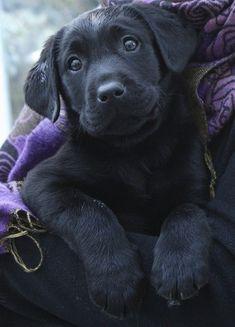 Why do so many people like Labrador ? by L&G PET Many people now keep a Labrador when choosing a companion dog. Schwarzer Labrador Retriever, Black Labrador Retriever, Golden Retriever, Labrador Retrievers, Retriever Puppy, Labrador Puppies, Black Lab Puppies, Cute Puppies, Cute Dogs