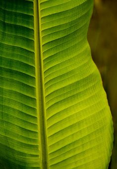 It's a banana leaf!