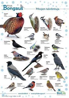 Pihojen talvilintuja www.birdlife.fi