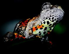 the Marbled Tree Frog. it's pretty hard to pick which side to check out first. Its belly is absolutely wild looking with a cheetah-ish print whereas its top is the side really living up to its name.