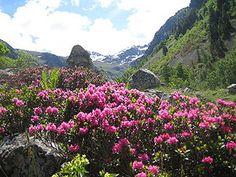 Rhododendron ferrugineum [Family: Ericaceae] in Nature Agapanthus, Flowers Perennials, Planting Flowers, Biennial Plants, Design Jardin, Plant Identification, Flower Names, Annual Flowers, Gardens