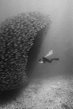 ~ diving through a school of fish~ underwater photography, ocean, scuba, swimming, black and white Under The Water, Under The Sea, Black White Photos, Black And White Photography, Underwater Photography, Art Photography, Fishing Photography, Wale, Deep Blue Sea