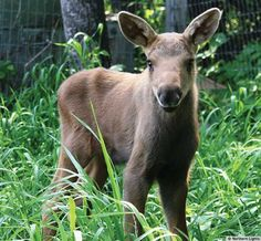 Help Raise an Orphaned Moose - Help raise an orphaned moose and prepare it for its eventual release back into the wild! From $28.00