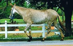 #AllThingsHorses™: Tennessee Walking Horse Mule.