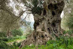 ελιά & λάδι: Olea europea-Ελια ευλογημένη (photos) Trunks, Plants, Shapes, Funny Animals, Drift Wood, Tree Trunks, Plant, Planets