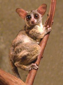 Bushbaby or Galago from Africa Primates, Mammals, Reptiles, Cute Little Animals, Baby Animals, Small Animals, New World Monkey, Slow Loris, Furry Tails