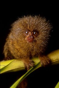 The Pygmy marmoset, aka 'dwarf monkey' is native to the Amazon Rainforest. One of the smallest primates and the smallest monkey, they weigh 5 oz.