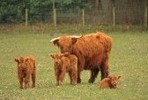Highland Cows Just South Of Aberdeen, Scotland Royalty Free Stock .the coos as we say Best Of Scotland, Aberdeen Scotland, Scotland Travel, Scottish Cow, Cow Pictures, Highland Cattle, Cows, Wonders Of The World, The Good Place