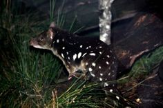 Spotted Tailed Quoll   Finally I've had a good chance to pho…   Flickr