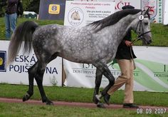 The Sport Horse Show and Breed Database - Tamarix