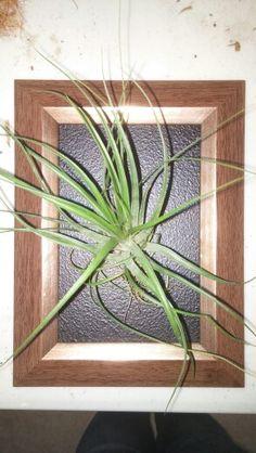 #gryphonsdenchatham #love #earth #cleanair #airplants #airplantframe #livingwall #verticalgarden #summer #gardens #smile #decor #chathamontario #wicca #pagan #plants #tillandsia #bromeliad #art #livingart