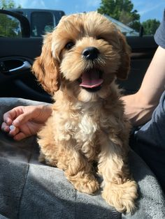 Cockapoo puppy #cockapoo #cutepuppy http://krechusifyoucan.com