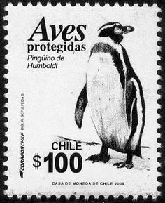 Republic of Chile, 2009. The Humboldt penguin (Spheniscus humboldti) (also termed Chilean penguin, or patranca) is a South American penguin, that breeds in coastal Chile and Peru. Its nearest relatives are the African penguin, the Magellanic penguin and the Galápagos penguin. The penguin is named after the cold water current it swims in, which is itself named after Alexander von Humboldt, an explorer.