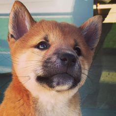 This adorable shiba inu puppy is already dreaming big!
