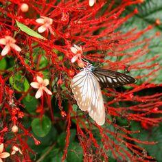 Pareronia tritea bargylia - Langoan Moth Species, Butterfly Species, Hotels, Beautiful Butterflies, Insects, Indonesia, Photo Illustration