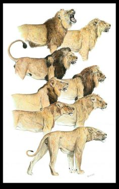 kenya mane variations of male lions Big Cats Art, Cat Art, Lion Pictures, Animal Pictures, Animal Sketches, Animal Drawings, Lion Species, Lion Walking, Lion Photography