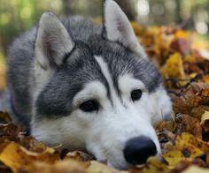 ♥Wolf dog  ♥