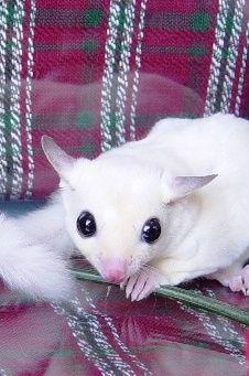 Leucistic or BEW (Black-eyed White) Sugar Glider Sugar Glider Care, Sugar Gliders, Cute Little Animals, Baby Animals, Beautiful Creatures, Animals Beautiful, Sugar Bears, Chinchillas, Little Critter