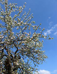 Die Raumfee: Apfelblüte... in Pinzberg // Apple blossoms