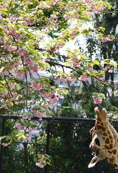 """横浜市立野毛山動物園≪公式≫さんのツイート: """"キリン展示場前の八重桜がそろそろ見納めのようです! ご覧になりたい方はお早めに…!! 「そら」は花より団子のようです^^;笑 #野毛山動物園 #キリン #八重桜 https://t.co/TdIY6o3wYD"""""""