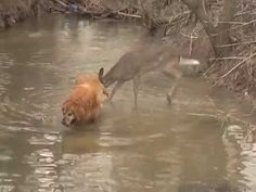 A dog and a deer meet in a stream and as they approach each other their curiosity is apparent. Once they connect the dog just seems to be really chilled out about the meeting of a new friend. However, the deer dances around the dog in a level of excitement that surprised the owner.