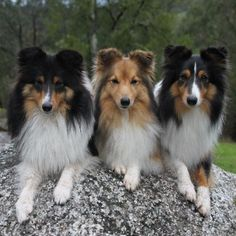 Shelties Sheep Dog Puppy, Sheep Dogs, Doggies, Pet Dogs, Dog Cat, Rough Collie, Collie Dog, Animals Beautiful, Cute Animals