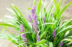 Royal Purple Liriope - Perfect Plants
