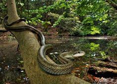 Un signe de bonne santéPeut-être à la recherche d'une proie, un Elaphe climacophora (surnommé « serpent ratier du Japon ») long de 1,5 m glisse sur un tronc, au bord de l'étang Sud, pendant la mousson. La présence de tels prédateurs prouve que la forêt est riche et saine.