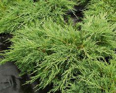 Laakakataja - Juniperus horizontalis ja sen eri lajikkeet sopivat kivikkokasviryhmään tai muureja pehmentämään.