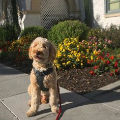 🐶 Today I went to NEW PARK!!! It's called Palo Alto! Lots of hoomans and it had a big glass hooman toy store too!! They weren't chewing them 🤔 Look at the pretty flowers I peed on 🌹🌺🌷🌼🌻🌸 #paloalto #flowers #toys #pee  #yay #sunnyday #labradoodle #labradoodlesofinstagram #labradoodlelove #lazyday #cute #cutestestpuppyever #cutestdogever #cutestdog #munchkintalks #munchkinthedood #instadoods #montereylocals #pacificgrovelocals- posted by Munchkin Puppy Talks…