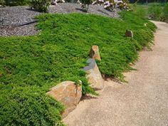 Vinca Minor Alba (kleine Maagdenpalm), Wintergroen, Sterke ... Bodendecker Vinca Minor Garten