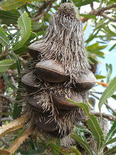 Unopened Banksia follicles... Banksia Tree