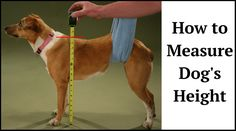 Technique of Measuring Dog's Height