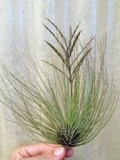 etsy shop that sells air plants Exotic Plants, Cactus Plants, Garden Plants, Indoor Plants, Air Plants Care, Plant Care, Yard Water Fountains, Garden Snakes, Air Plant Display