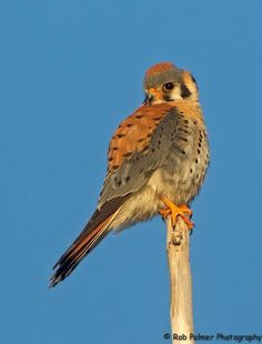 How Idahoans Can Use Crowdfunding To Help Struggling Kestrels