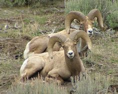 The Commons Getty Collection Galleries...Rocky Mountain Bighorn Sheep
