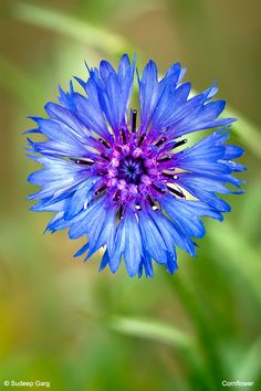 Tattoo for German-American heritage: cornflower (official flower of Germany) entwined with rose (official flower of USA)